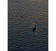 Lonely Duck Swimming at Lake at Sunset Time Photographic Print