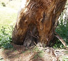 A large Gum tree grown around an aged fence post. 'Clare', S. Aust. by Rita Blom