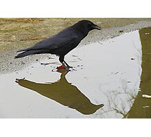Crow Reflection (1) Large Photographic Print