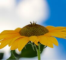 Sunflower in the Clouds 2 by ReidSmith
