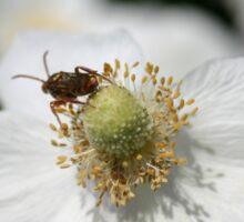 Anemone Cricket Sticker