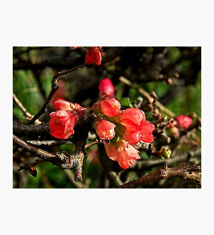 Flowering Quince - Chaenomeles Japonica Photographic Print
