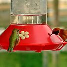HummingBirds in BC, Canada by AnnDixon