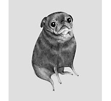 Sweet Black Pug Photographic Print
