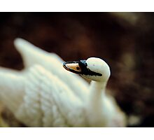 The Swan That Wasn't Photographic Print