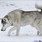 Siberian Husky in the Snow by AspenWillow