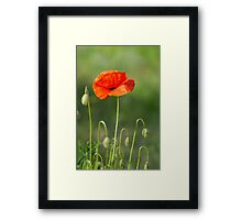 Beautiful photo of poppy in bloom Framed Print