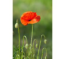 Beautiful photo of poppy in bloom Photographic Print