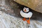 Puffin under a rock, Saltee Islands, County Wexford, Ireland by Andrew Jones