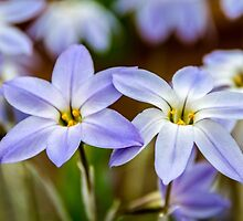 Blue & White Flowers  by Martina Fagan