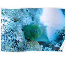 Green Moray Eel Poster