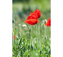 Bright red poppy flowers in summer Photographic Print