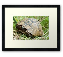Tortoise (Agrionemys horsfieldii) in the meadow Framed Print