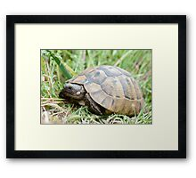 Tortoise on the grass eating Framed Print