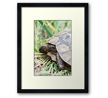 Tortoise in the meadow Framed Print
