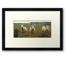 Curious Cork Cows Framed Print