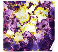 Iris Flower Petals Abstract  Poster