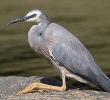 White Faced Heron by JayWolfImages