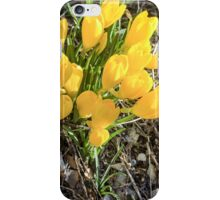 Yellow flowers of the Sternbergia lutea (Autumn daffodil) iPhone Case/Skin