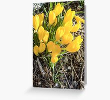Yellow flowers of the Sternbergia lutea (Autumn daffodil) Greeting Card