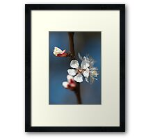Cherry blossom flowering Framed Print
