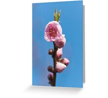 Spring pink cherry blossom with sky background Greeting Card