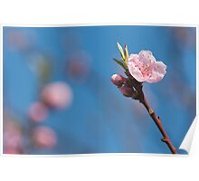 Pink cherry flowering  with sky background Poster