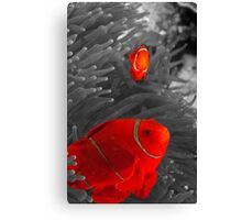 Spinecheek Anemonefish - selective colourisation Canvas Print