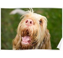 Orange and White Italian Spinone Dog Head Shot Poster