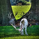 White Fallow Deer by Nigel Bangert