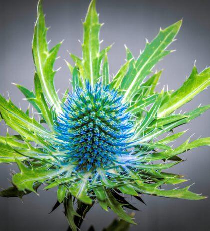Blue Eryngium Sticker
