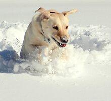 Labrador in Action by Valeria Lee