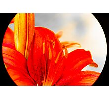Lily 1 Photographic Print