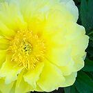 Yellow Peony by daphsam