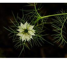 Nutmeg Flower 2 Photographic Print