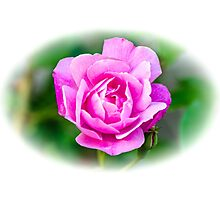 Pink Rose White Vignette Photographic Print
