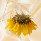 A Suspended Sunflower by Sandra Foster