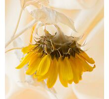 A Suspended Sunflower Photographic Print