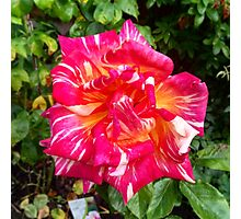 Hybrid Tea Rose Photographic Print
