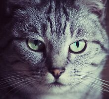 Silver Tabby by cclecombe