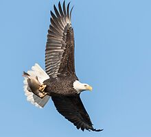 The Great American Bald Eagle 2016-4 by Thomas Young