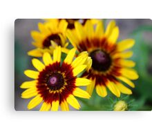 Red and Yellow Black Eyed Susan 2 Canvas Print