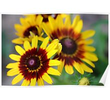 Red and Yellow Black Eyed Susan 2 Poster