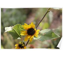 Small Sunflowers Poster