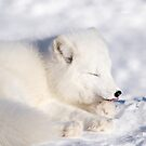 Arctic Fox Licking His Paw by Yannik Hay