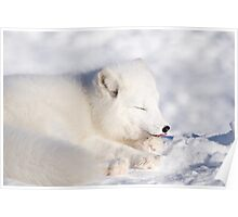 Arctic Fox Licking His Paw Poster