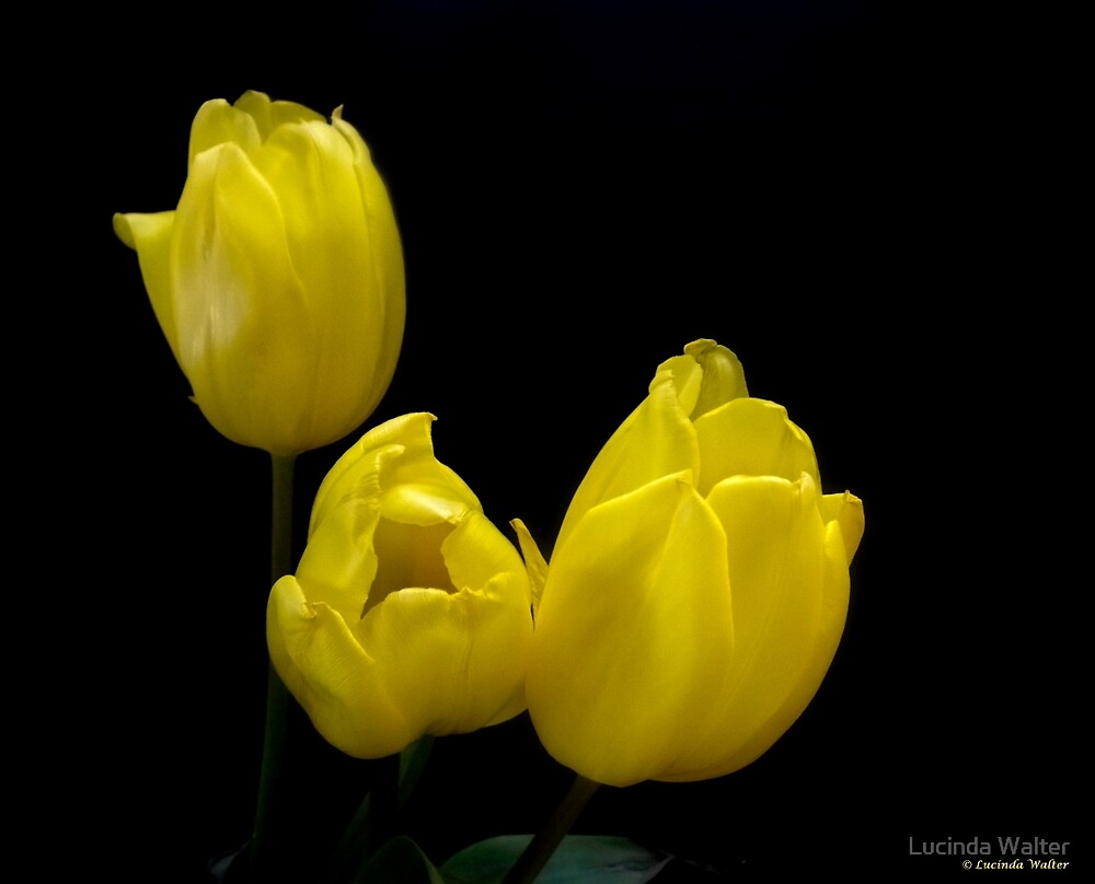 Trio in Yellow by Lucinda Walter
