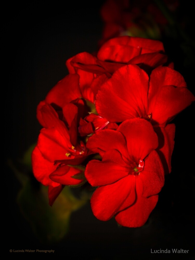 Red Flowers in Evening Light by Lucinda Walter