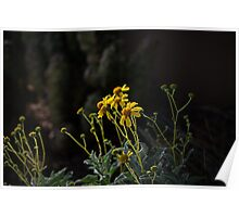 Evening Light on the Brittlebush  Poster