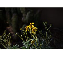 Evening Light on the Brittlebush  Photographic Print